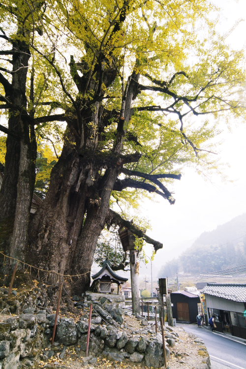 乳出の大イチョウ(愛媛県内子町)イメージ16