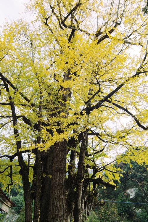 乳出の大イチョウ(愛媛県内子町)イメージ22