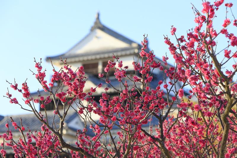 松山城と梅_2・3月(愛媛県松山市)イメージ1