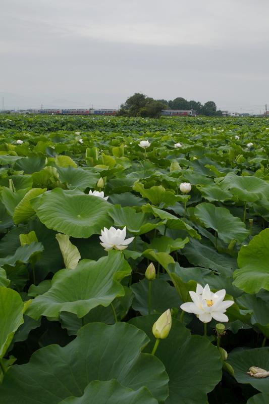 ハスの花(レンコン畑)と列車_7月(徳島県鳴門市)イメージ1