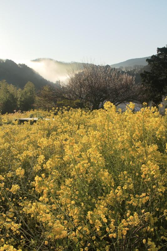 黄色い丘_3月(愛媛県伊予市)イメージ1