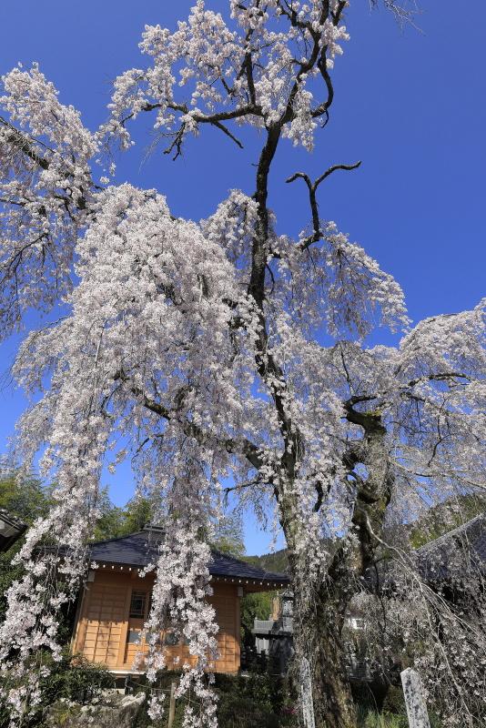 法連寺のしだれ桜_4月(愛媛県久万高原町)イメージ1