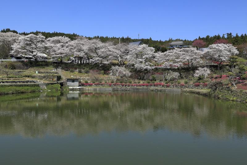 尾首の池の桜_4月(愛媛県内子町)イメージ1