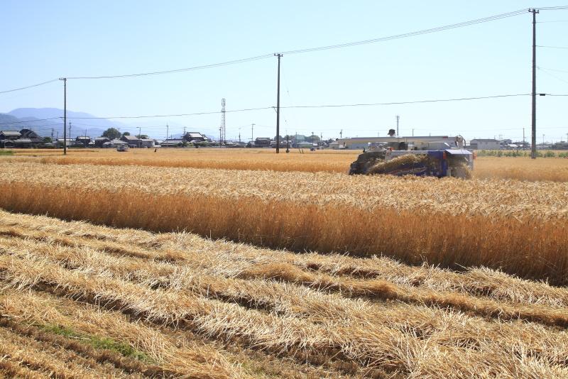 ハダカ麦畑_5月_収穫(愛媛県松前町)イメージ1