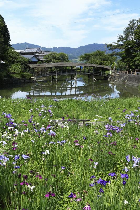 弓削神社太鼓橋と花菖蒲_6月(愛媛県内子町)イメージ1