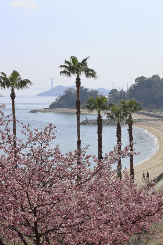 大角海浜公園_2月・3月、河津桜(愛媛県今治市)イメージ1
