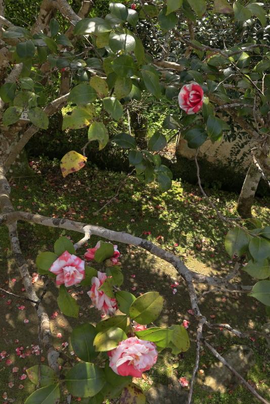 如法寺の椿_3月(愛媛県大洲市)_2イメージ8