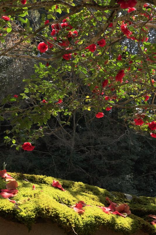 如法寺の椿_3月(愛媛県大洲市)_2イメージ11