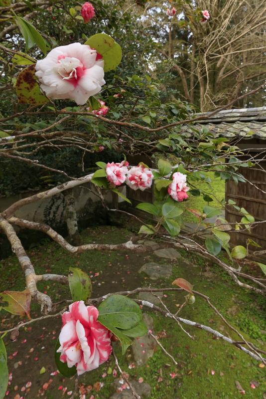 如法寺の椿_3月(愛媛県大洲市)_2イメージ14