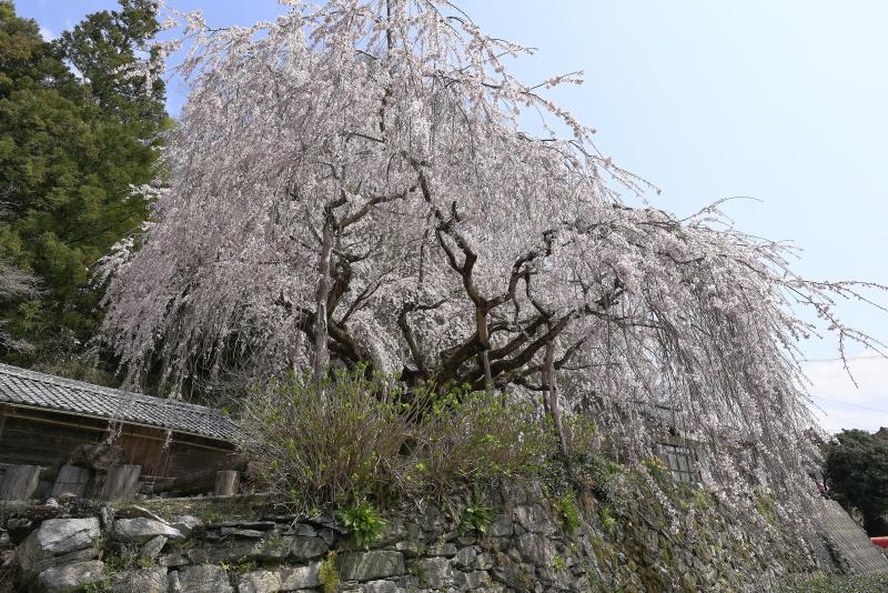 野村のシダレザクラ_春(愛媛県内子町)イメージ5
