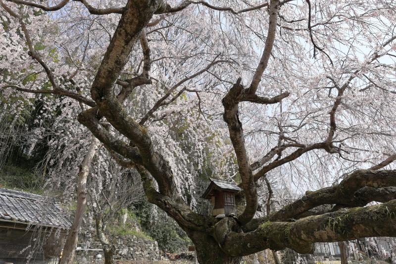野村のシダレザクラ_春(愛媛県内子町)イメージ9