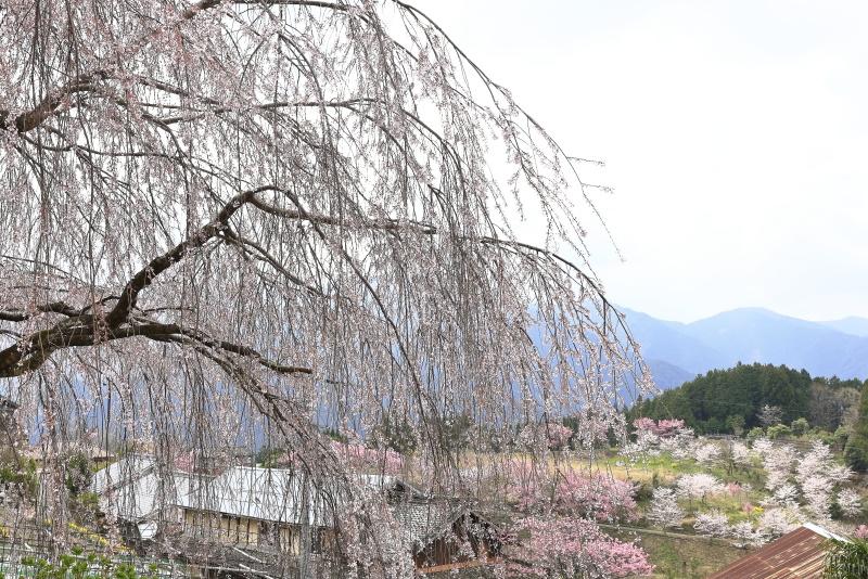野村のシダレザクラ_春(愛媛県内子町)イメージ22
