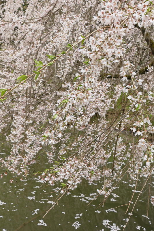 相野の花(シダレザクラ)_春(愛媛県内子町)_2イメージ6