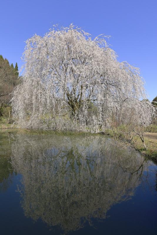 相野の花(シダレザクラ)_春(愛媛県内子町)_3イメージ2