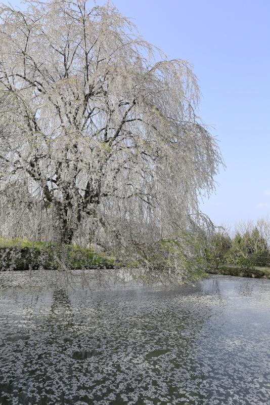 相野の花(シダレザクラ)_春(愛媛県内子町)_3イメージ7
