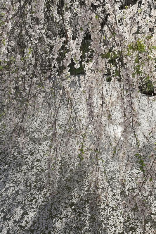 相野の花(シダレザクラ)_春(愛媛県内子町)_3イメージ21