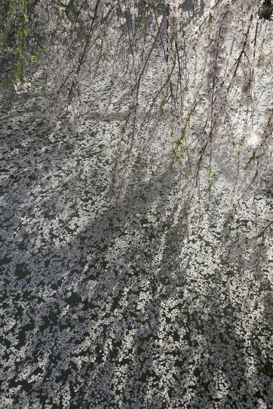 相野の花(シダレザクラ)_春(愛媛県内子町)_3イメージ22