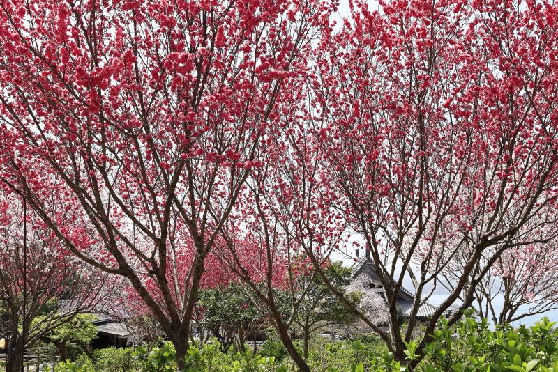 春の祥雲寺(愛媛県上島町 岩城島)_2イメージ1