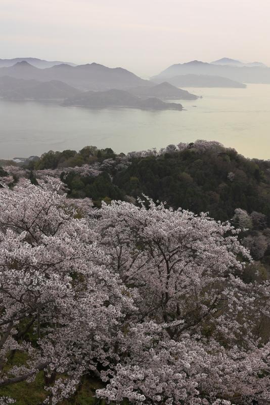 積善山の桜_岩城島(愛媛県上島町)イメージ1