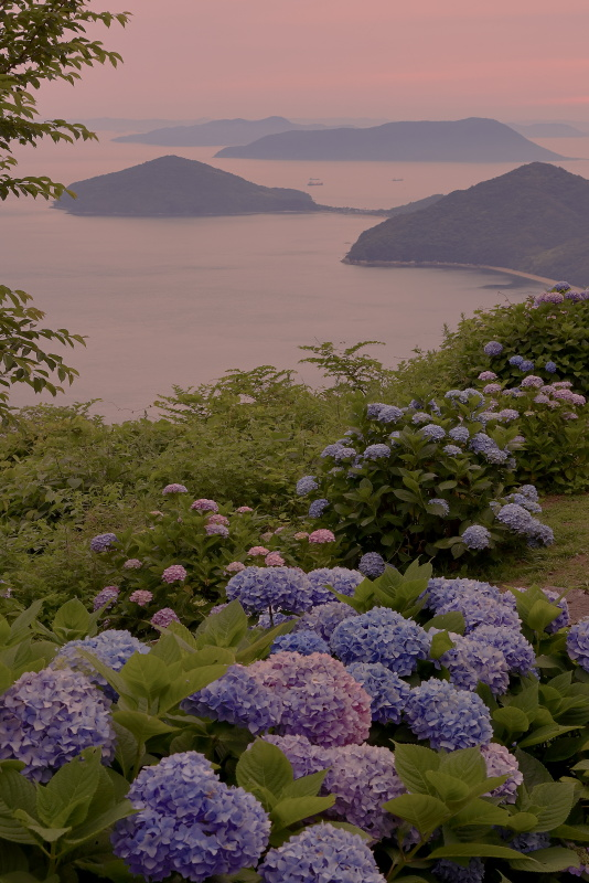 紫雲出山のアジサイ_6月(香川県三豊市)イメージ1