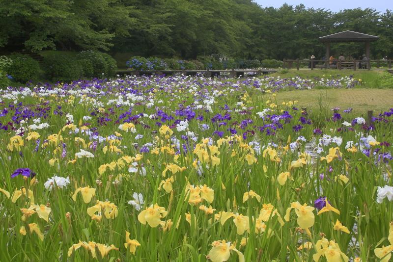 池田池公園(花菖蒲と紫陽花)_6月(愛媛県新居浜市)イメージ3