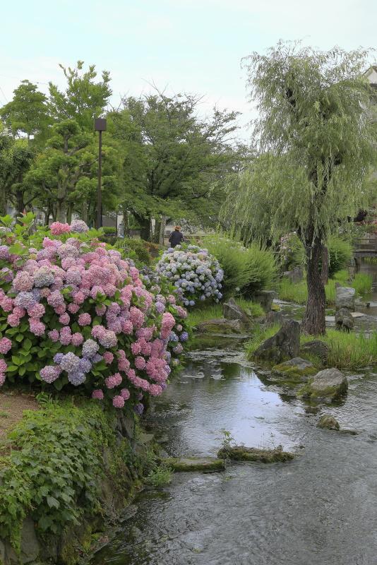 アクアトピア水系(紫陽花)_6月(愛媛県西条市)イメージ3