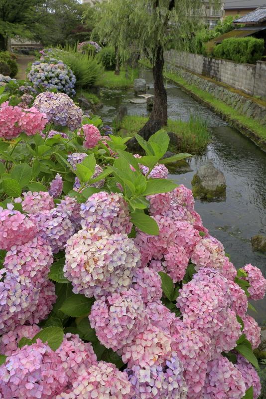 アクアトピア水系(紫陽花)_6月(愛媛県西条市)イメージ4