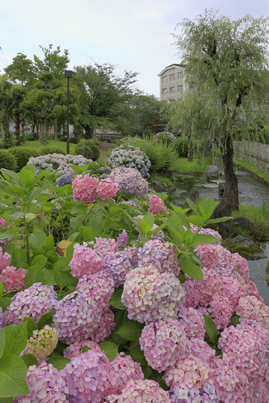 アクアトピア水系(紫陽花)_6月(愛媛県西条市)イメージ5