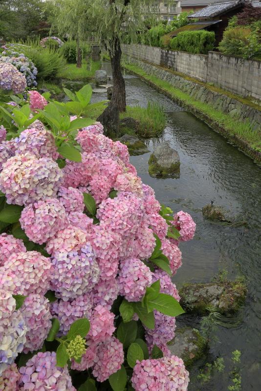 アクアトピア水系(紫陽花)_6月(愛媛県西条市)イメージ6