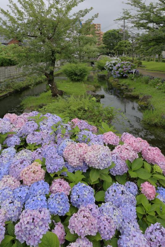アクアトピア水系(紫陽花)_6月(愛媛県西条市)イメージ7