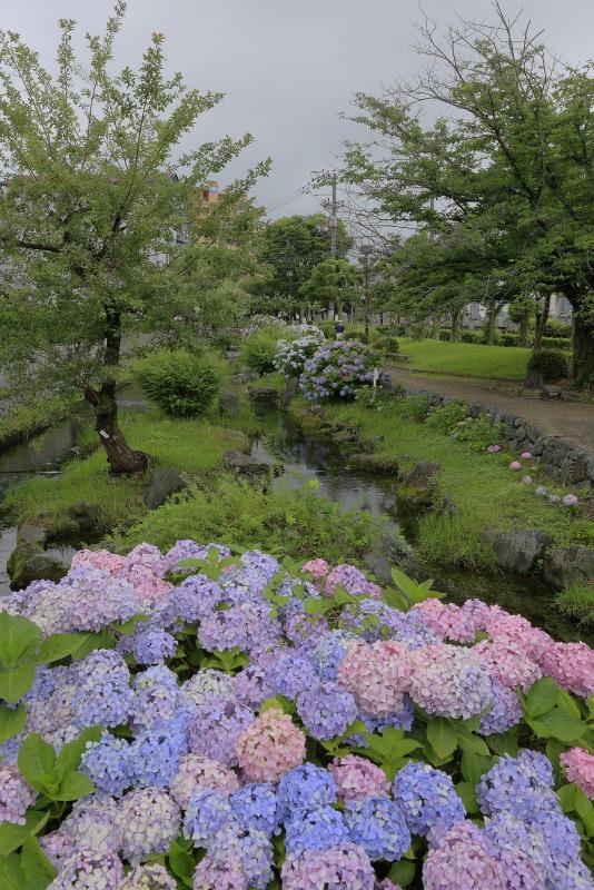 アクアトピア水系(紫陽花)_6月(愛媛県西条市)イメージ8