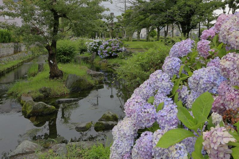 アクアトピア水系(紫陽花)_6月(愛媛県西条市)イメージ9