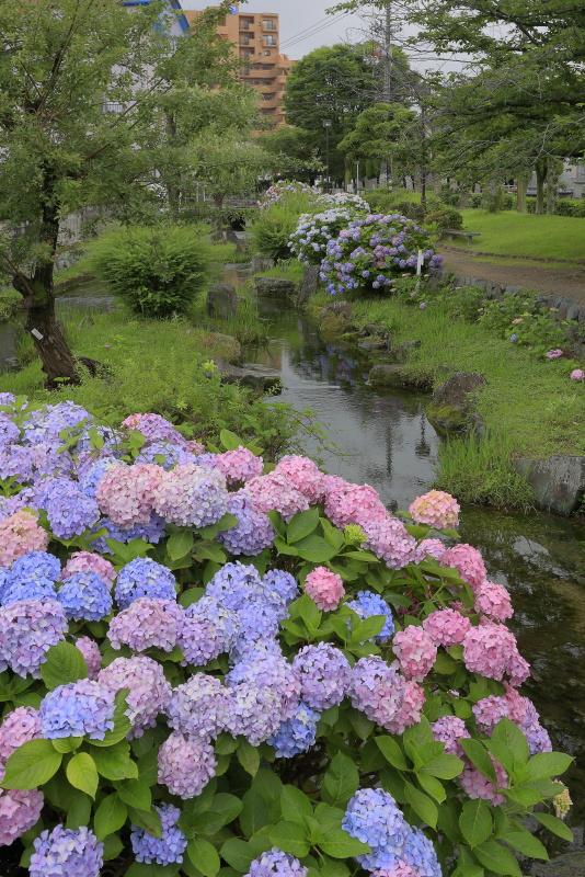 アクアトピア水系(紫陽花)_6月(愛媛県西条市)イメージ11