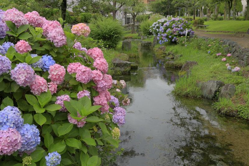 アクアトピア水系(紫陽花)_6月(愛媛県西条市)イメージ14