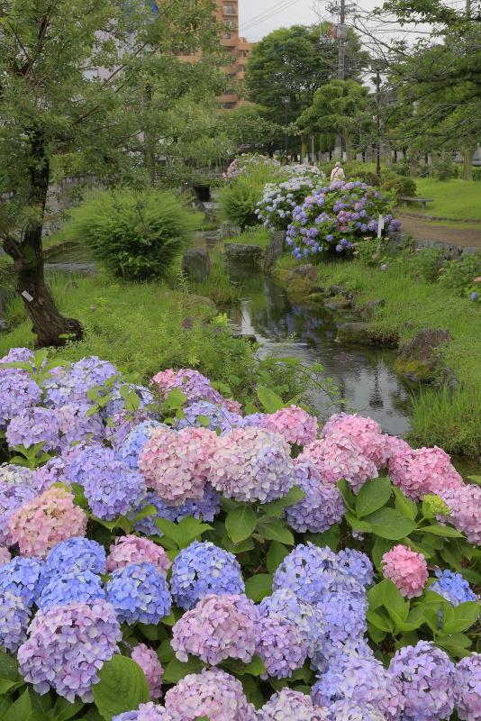 アクアトピア水系(紫陽花)_6月(愛媛県西条市)イメージ15